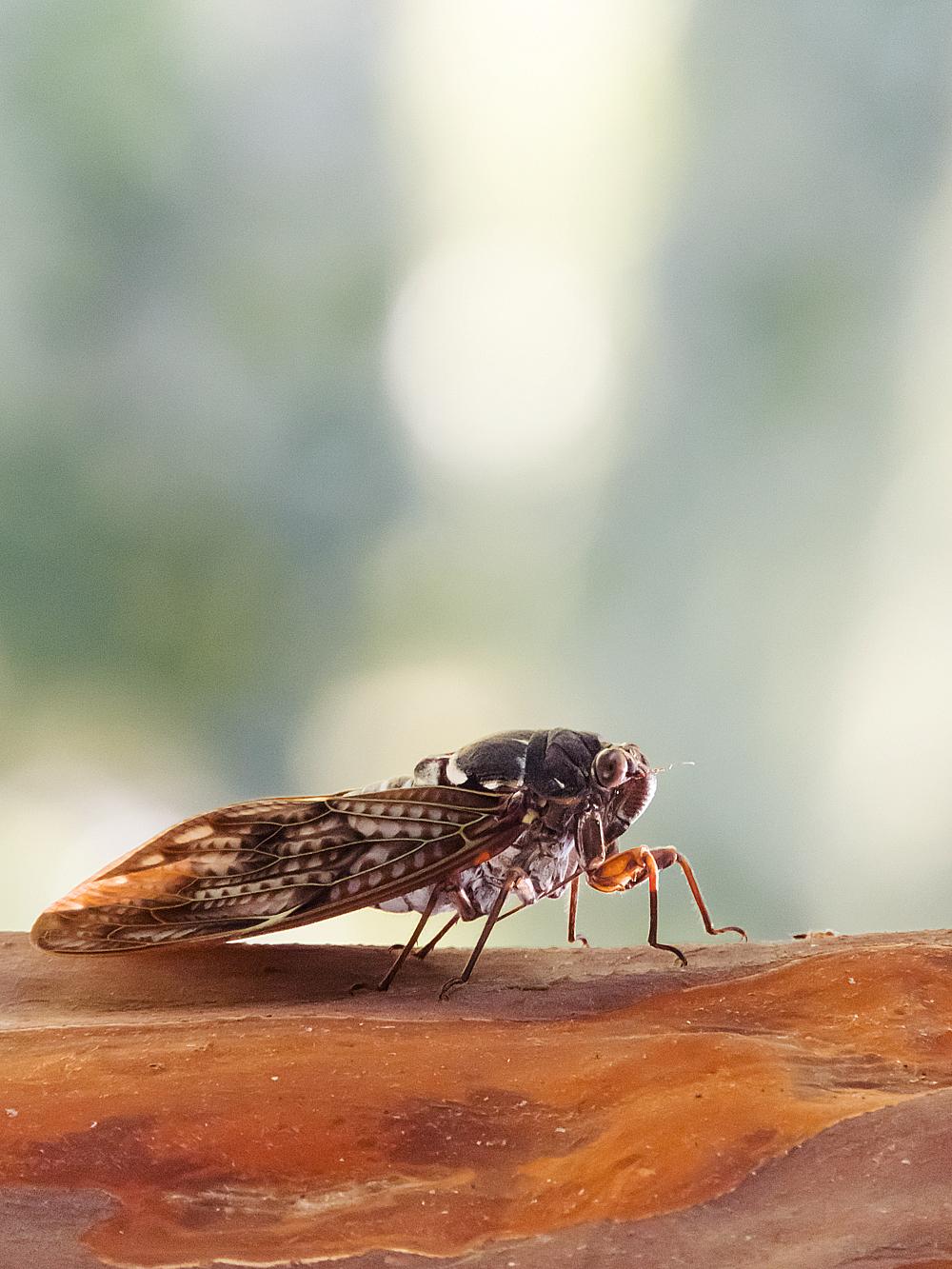COOLPIX B700 昆虫撮影 アブラゼミ 画像