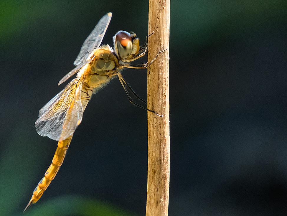COOLPIX B700 昆虫撮影 ウスバキトンボ 画像