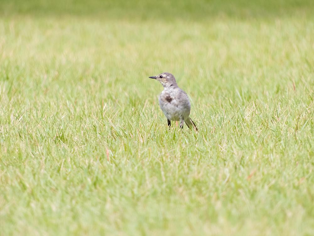 COOLPIX B700 ハクセキレイ 幼鳥