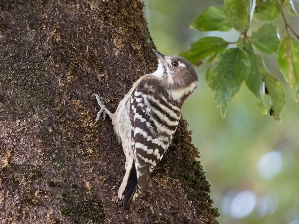 COOLPIX B700 鳥 撮影 コゲラ 木の上を歩く