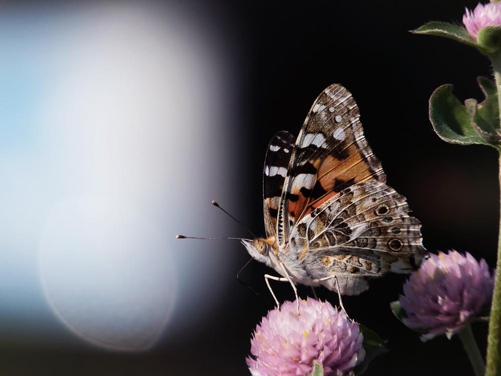 COOLPIX B700 昆虫撮影 ヒメアカタテハ チョウチョ