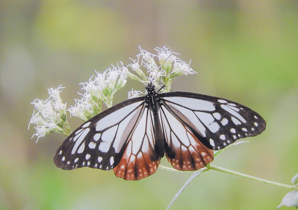 「旅をする蝶」といわれるアサギマダラ