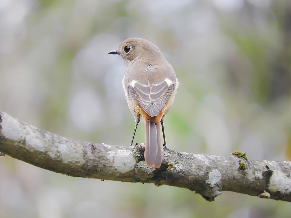 ジョウビタキのメス 羽根の模様